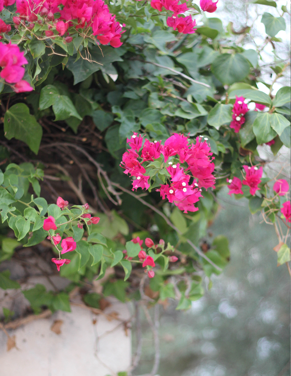 mallorca-pink-flowers